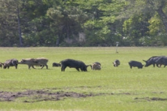 Wild pig herds such as this one cause significant damage in a short amount of time by rooting the land. (File photo by USDA APHIS/Carol Bannerman)